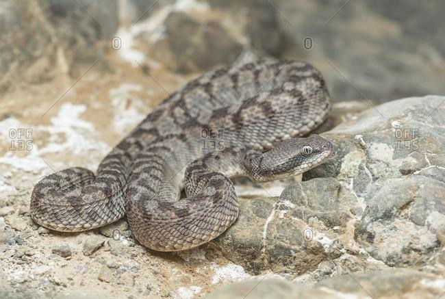 Close-up of an Oman saw-scaled viper (Echis omanensis), Sharjah, UAE