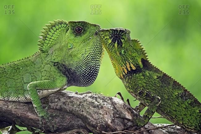 Two green chameleons on a branch face to face, Indonesia