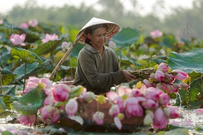 Farmer collecting lotus flowers, Thailand