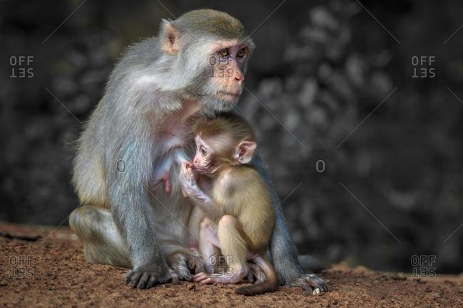 Infant monkey suckling, Udon Thani, Thailand