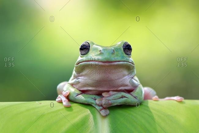 Dumpy white tree frog on a leaf, Australia