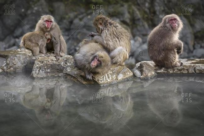 Group of snow monkeys sitting by hot spring, Nagano, Honshu, Japan