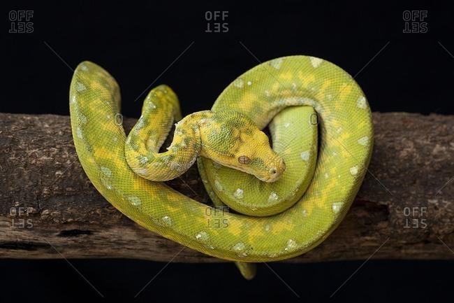 Boa constrictor snake on branch, Jember, east Java, Indonesia