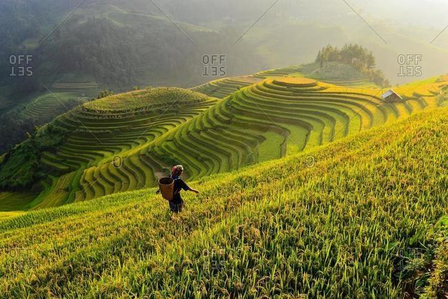 Woman working in terraced rice field, Mu Cang Chai, Vietnam
