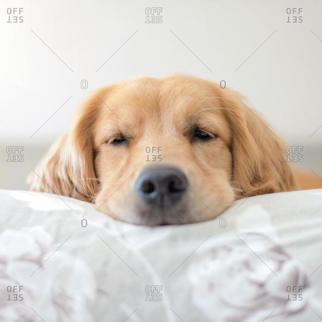 Portrait of a sleepy golden retriever dog lying on a bed