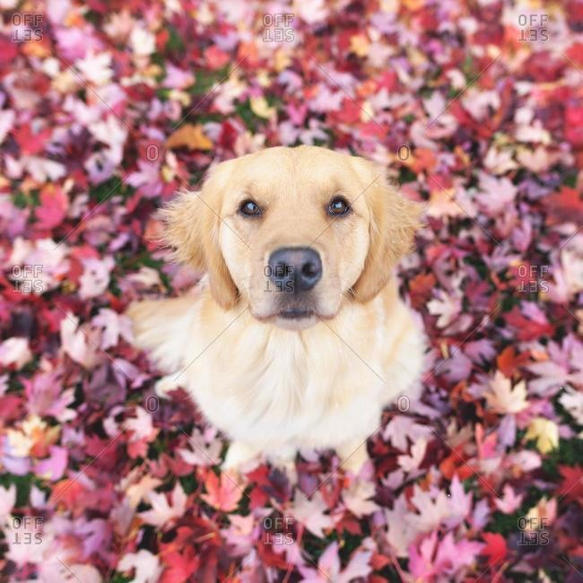 Golden retriever dog sitting in autumn leaves
