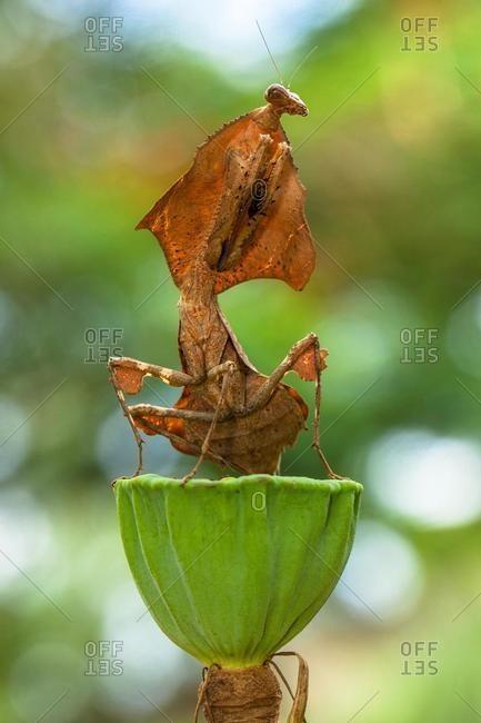 Dead leaf mantis on a lotus bud, Jakarta Selatan, Indonesia