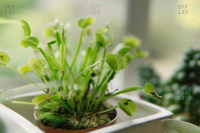 Close-up of a venus flytrap plant on a windowsill