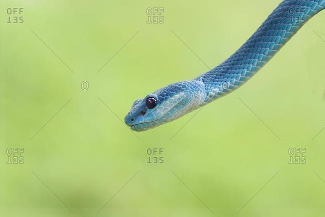 Head of a Blue viper snake, Indonesia