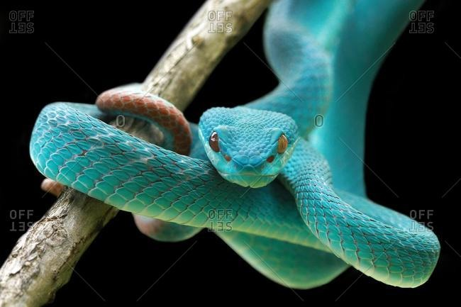 Blue viper coiled snake on a branch, Indonesia