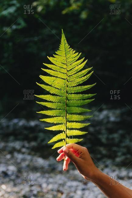 Woman's hand holding a fern leaf