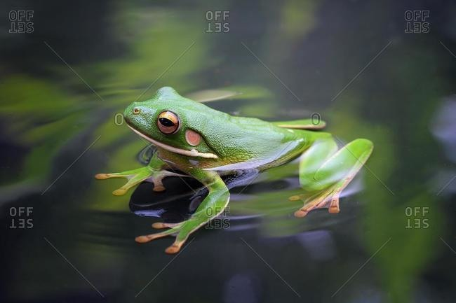 White-lipped tree frog (litoria infrafrenata) in a pond, Indonesia