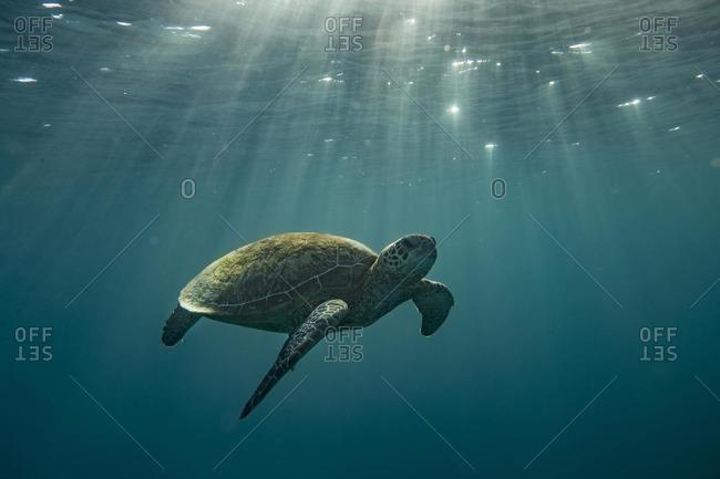Turtle swimming underwater in sunlight, Lady Elliot Island, Great Barrier Reef, Queensland, Australia