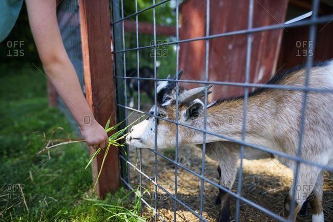 Boy feeding a goat on a farm