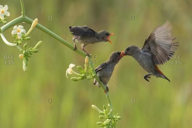 Bird feeding two chicks, Bogor, West Java, Indonesia