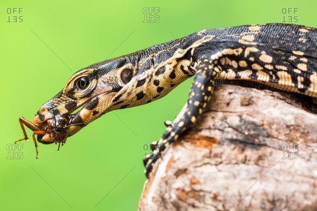 Close-up of a monitor lizard eating an insect, Indonesia