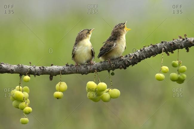 Two birds on a branch, Indonesia
