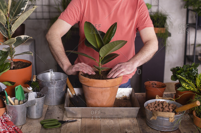Man planting rubber fig in pot at plant nursery