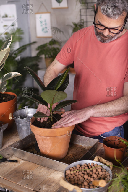 Bearded mature man planting rubber fig in pot at plant nursery