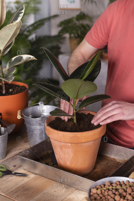Man planting rubber tree in pot at plant nursery