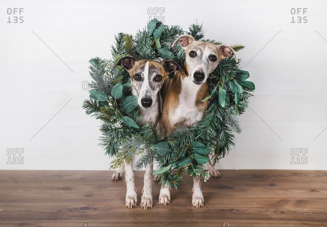 Christmas wreath around dogs on hardwood floor against white background