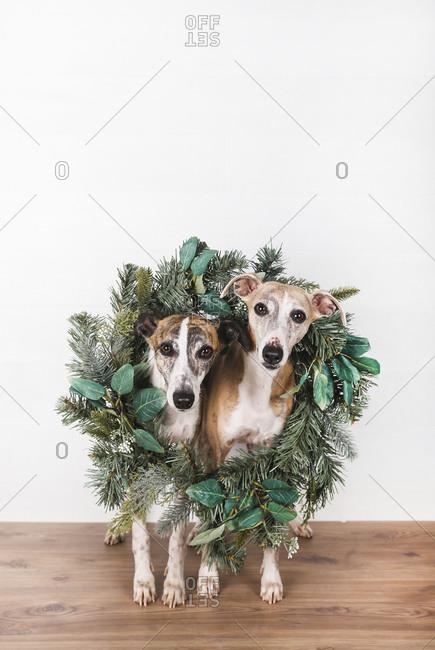 Green Christmas wreath around dogs on hardwood floor against white background