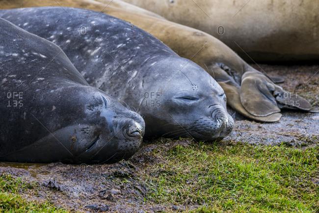 Southern elephant seals (Mirounga leonina) sleeping on ground