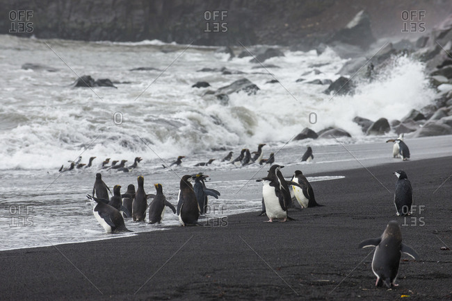 UK- South Georgia and South Sandwich Islands- Chinstrap penguin (Pygoscelis antarcticus) colony on shore of Saunders Island