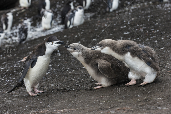 UK- South Georgia and South Sandwich Islands- Chinstrap penguin (Pygoscelis antarcticus) feeding chicks on Saunders Island