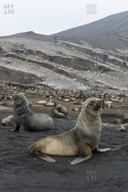 UK- South Georgia and South Sandwich Islands- Colonies of chinstrap penguins (Pygoscelis antarcticus) and Antarctic fur seals (Arctocephalus gazella) on Saunders Island