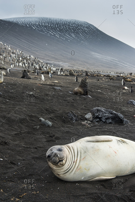 UK- South Georgia and South Sandwich Islands- Portrait of southern elephant seal (Mirounga leonina) relaxing on sand in front of chinstrap penguin (Pygoscelis antarcticus) colony