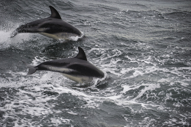 Two dusky dolphins (Lagenorhynchus obscurus) breaching in Beagle Channel