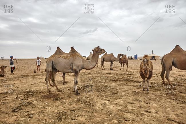 Gobi Desert, Mongolia - July 13, 2015: Bactrian camels (Camelus bactrianus) in the Gobi Desert