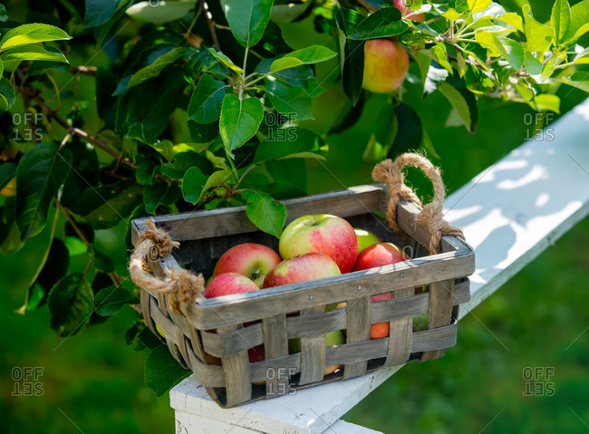 Natural apples in a basket near apple tree branch in a garden