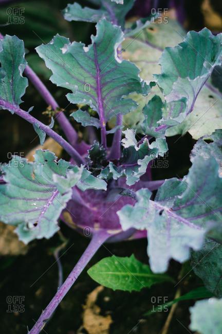 Purple kohlrabi growing in the soil