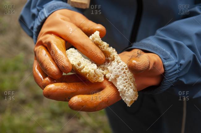 Hands wearing orange gloves holding fresh honeycomb
