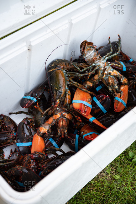 Cooler full of live lobsters
