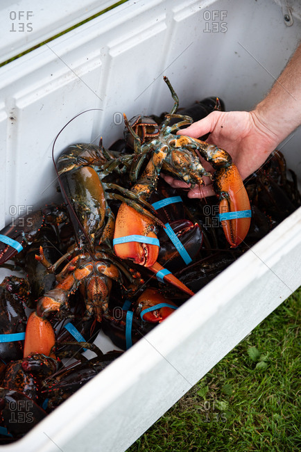 Person reaching into cooler full of live lobsters