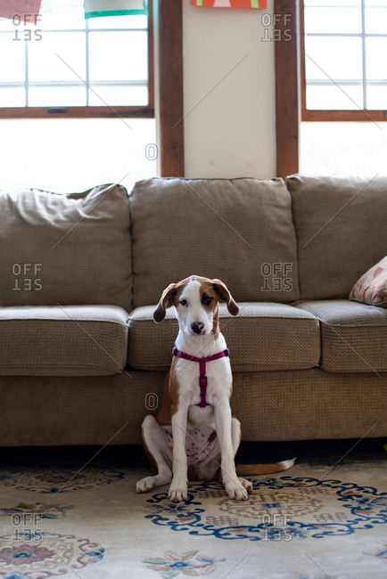 Hound dog puppy sitting in a living room