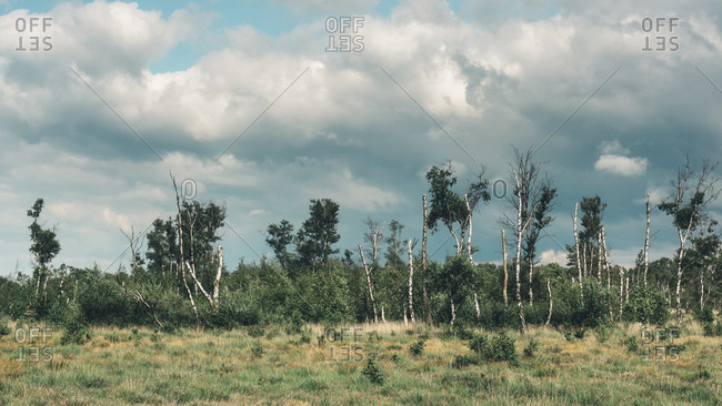 Birch trees at a nature reserve in summer under cloudy sky