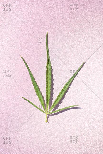 Marijuana narrow leaf on a plain background