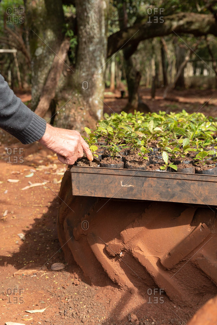 Yerba mate plantation process in Misiones, Argentina