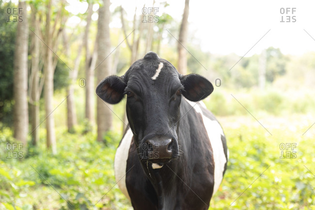 Portrait of a black and white cow from Misiones, Argentina