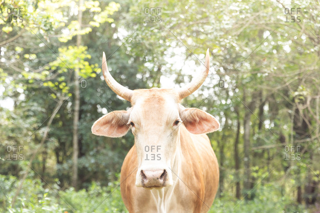 Portrait of a brown and white cow from Misiones, Argentina
