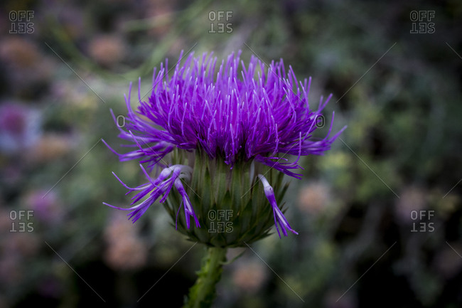 A thistle flower at the Botanical Gardens in Berlin, Germany