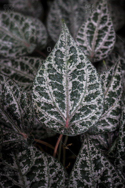 Green patterned leaves of a polka dot plant (Hypoestes phyllostachya) at the Botanical Gardens in Berlin, Germany