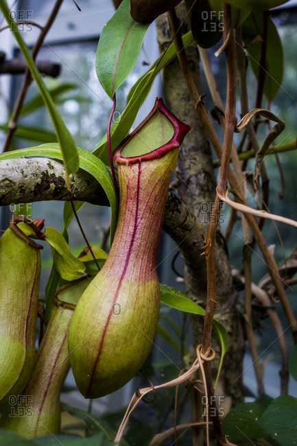 A tropical pitcher plant growing at the Botanical Gardens in Berlin, Germany