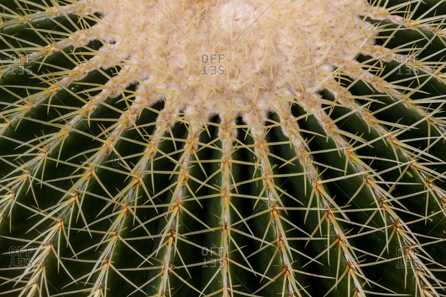Detail of a golden barrel cactus growing at the Botanical Gardens in Berlin, Germany