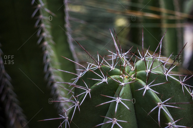 A close-up of cactus spines at the Botanical Gardens in Berlin, Germany