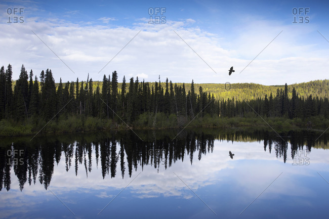Raven flying above small lake on Skeena Cassier highway in norther region of British Columbia, Canada